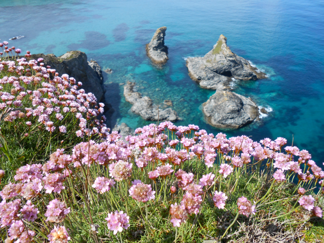 Thrift growing wild on the scenic cliff tops above azure waters below