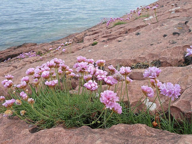 Thrift along the shoreline - Isle of Arran