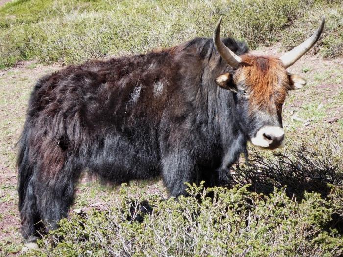 Horned Yak
